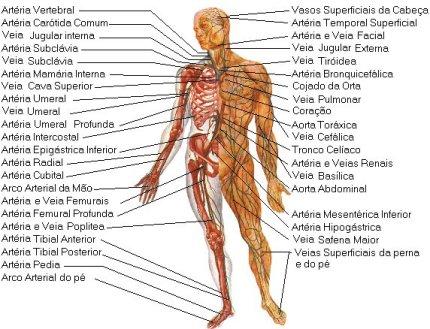 Anatomía Humana - WIKIANATOMÍA